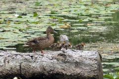 Female Mallard and Babies