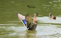 Female Mallard Wings