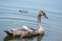 Adolescent Mute Swan