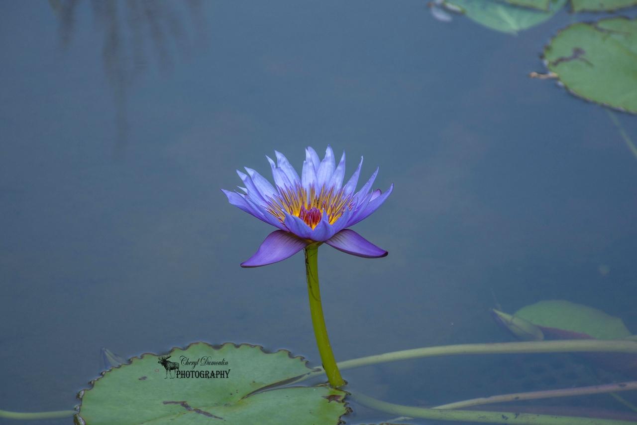 """""""On Fire"""" Purple Waterlily"""