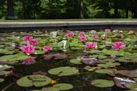 Garden Pond with Waterlilies