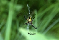 Black&Yellow Garden Spider
