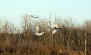 Tundra Swans – Aylmer Wildlife Management Area