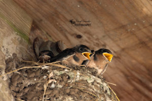 Point Pelee – Baby Barn Swallows and More