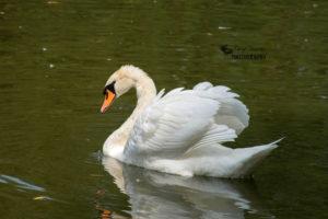 Mute Swans – Stratford, Ontario