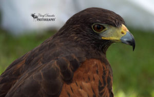 Festival of Hawks – Holiday Beach Conservation Area