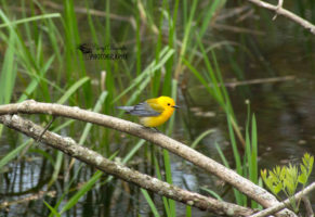 Spring Migration – Point Pelee, Pinery and Rondeau