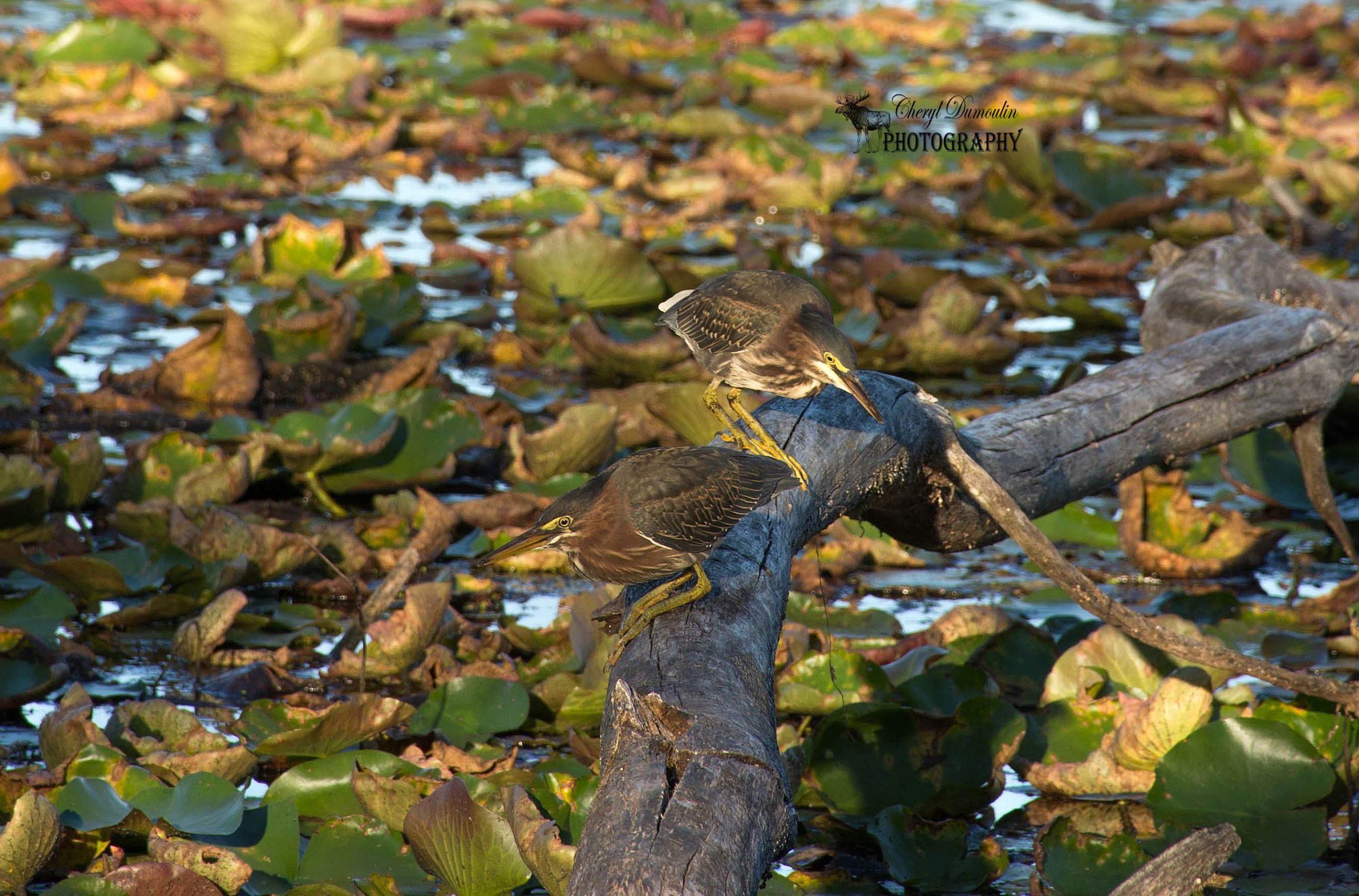 Green Herons – Westminster Ponds Conservation Area