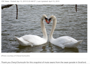 Swan Photo Feature